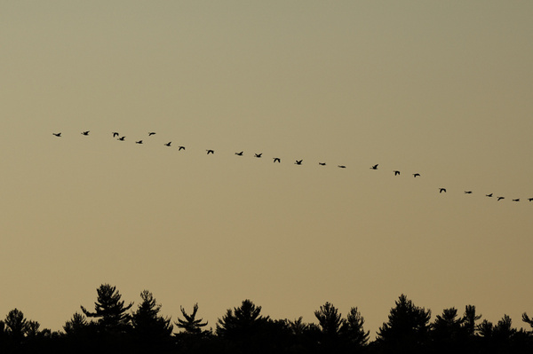 Evening Geese - WILDLIFE