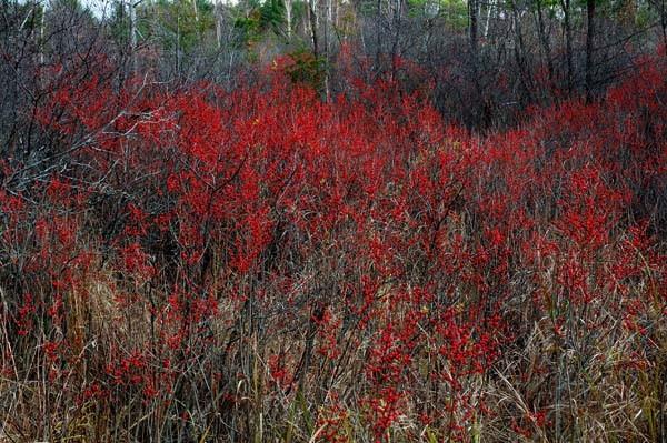 Winterberries - AUTUMN COLOURS