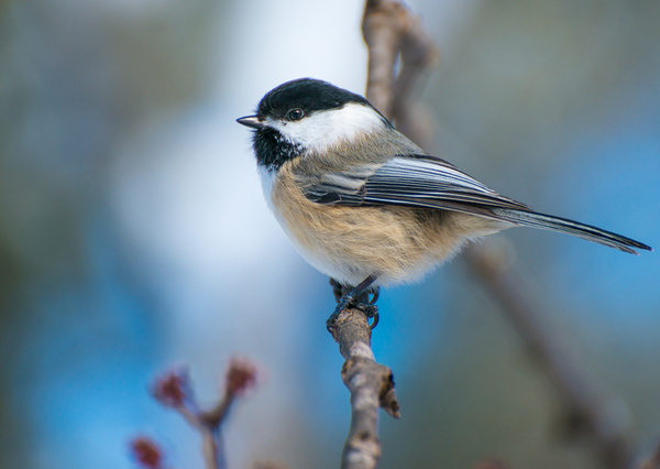 Black-Capped Chickadee - WILDLIFE