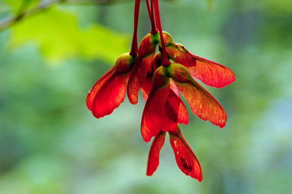 Hanging Maple Keys - NATURE'S GARDEN