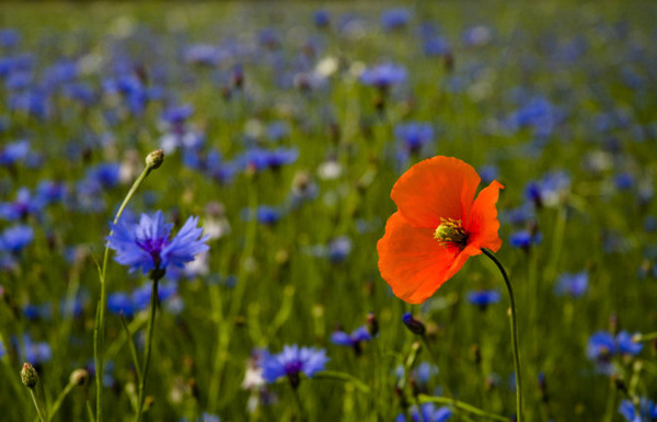 Lone Poppy - NATURE'S GARDEN