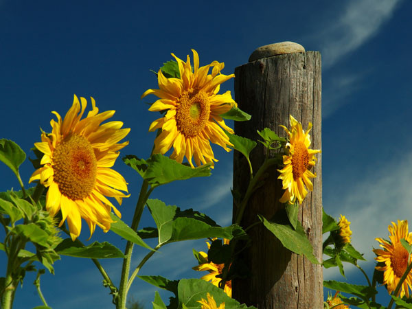 Muskoka Sunflowers - NATURE'S GARDEN