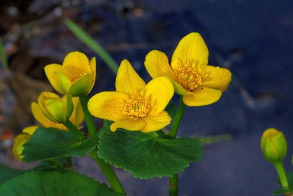 Marsh Marigolds - NATURE'S GARDEN