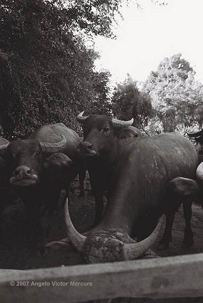 204 - Water Buffaloes