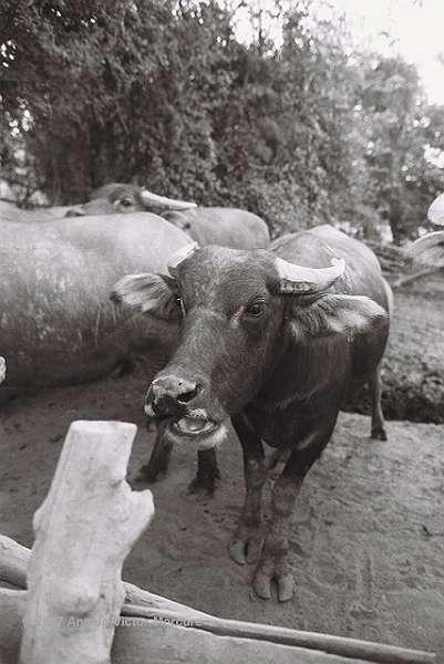 202 - Water Buffaloes