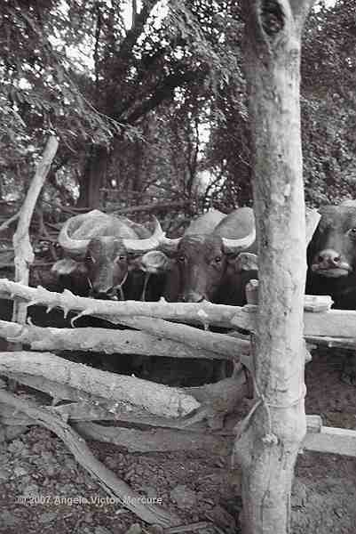 206 - Water Buffaloes