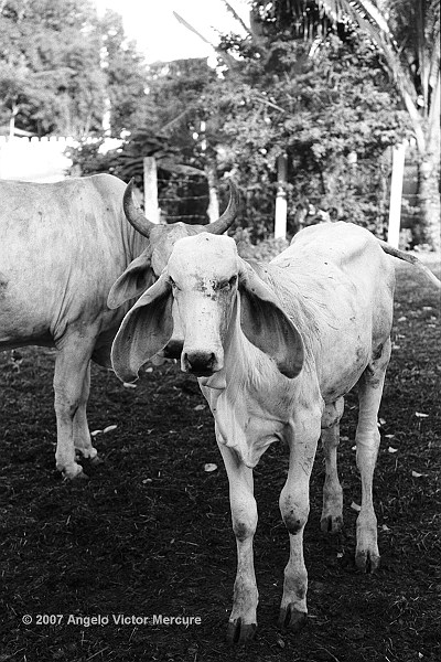 1203 - Brahman Bulls