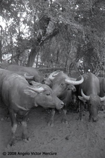 208 - Water Buffaloes