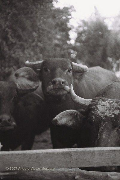 207 - Water Buffaloes