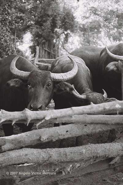 200 - Water Buffaloes