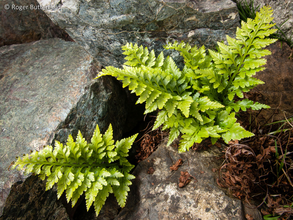 Black Spleenwort photographed by Roger Butterfield