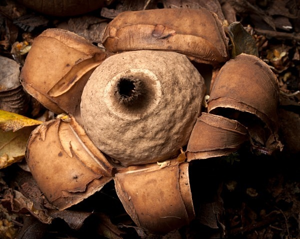 'Collared Earthstar' fungus, photographed by Roger Butterfield.