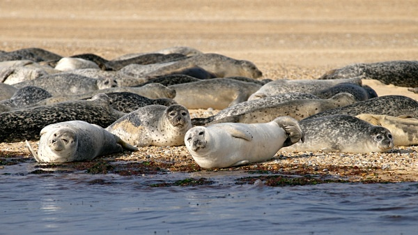 Common Seals photographed by Roger Butterfield