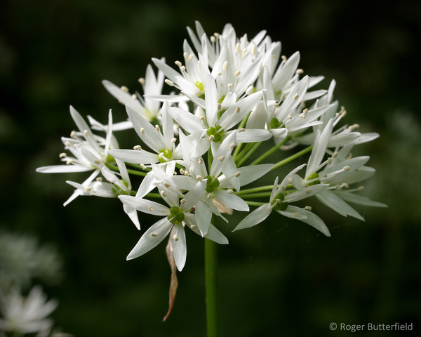 Ramsons photographed by Roger Butterfield
