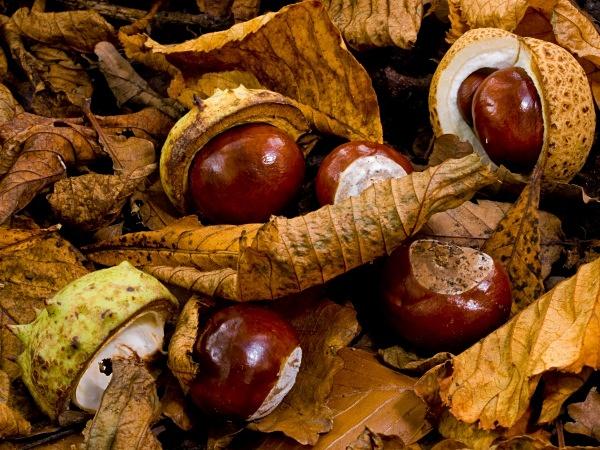 Horse Chestnuts #1 - Autumn