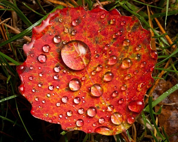 Aspen leaf - Autumn