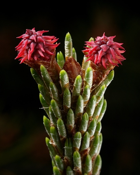 Pine flowers (female) photographed by Roger Butterfield