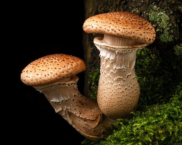 'Dark Honey Fungus' mushrooms, photographed by Roger Butterfield.