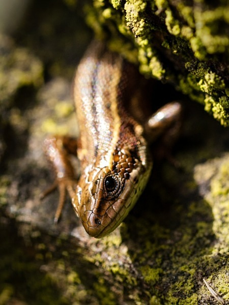 Viviparous Lizard (01) - Amphibians & Reptiles