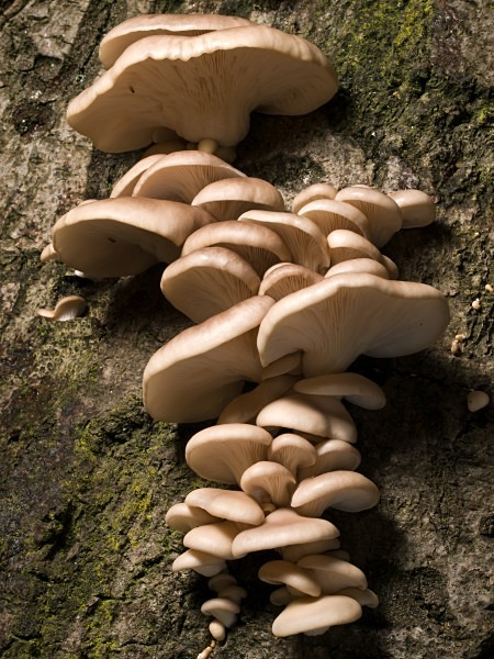 'Oyster Mushrooms', photographed by Roger Butterfield.