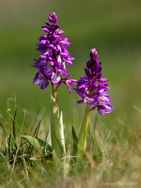 Early-purple Orchid photographed by Roger Butterfield