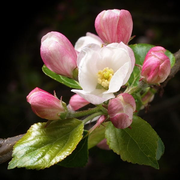 Apple blossom photographed by Roger Butterfield