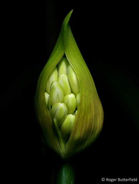 Agapanthus bud photographed by Roger Butterfield