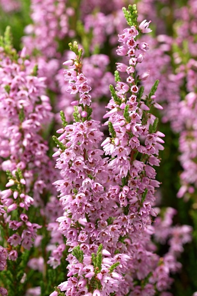 Heather flowers, photographed by Roger Butterfield.