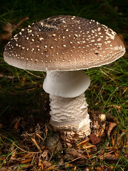 'Grey Spotted Amanita' mushroom, photographed by Roger Butterfield.