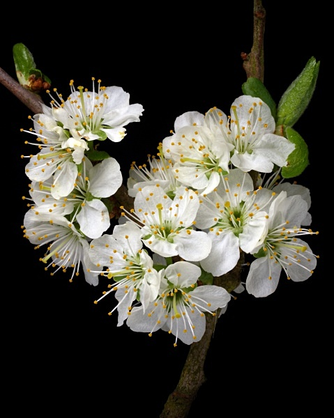 Damson blossom photographed by Roger Butterfield
