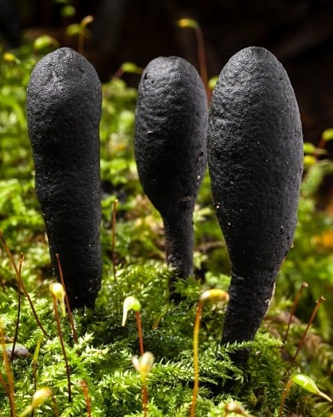 'Dead Moll's Fingers' fungi, photographed by Roger Butterfield.