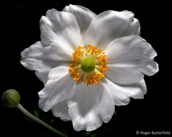 Japanese Anemone photographed by Roger Butterfield