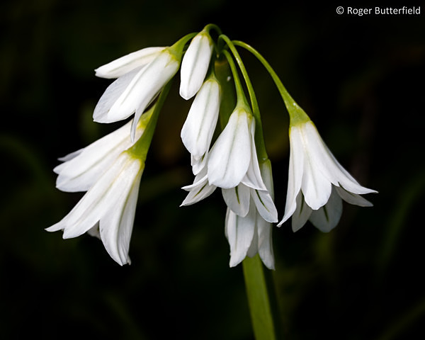 Three-cornered Garlic photographed by Roger Butterfield