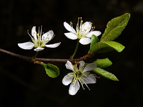 Blackthorn blossom photographed by Roger Butterfield