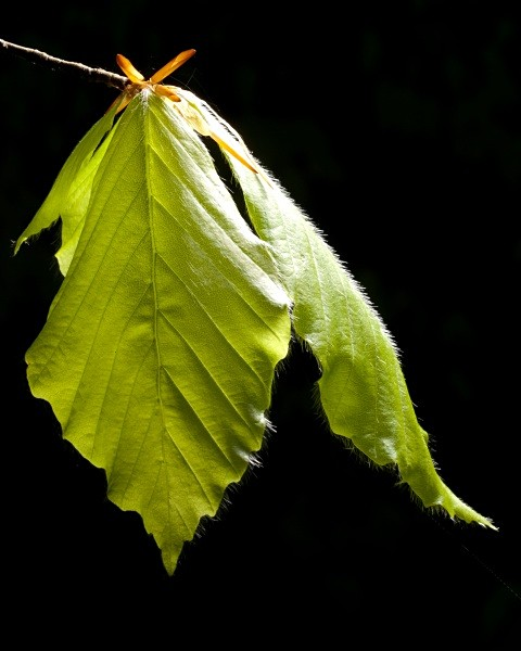 Beech leaves photographed by Roger Butterfield