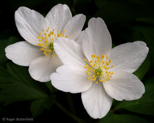 Wood Anemone photographed by Roger Butterfield