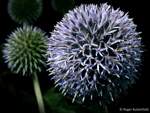 Globe Thistle photographed by Roger Butterfield