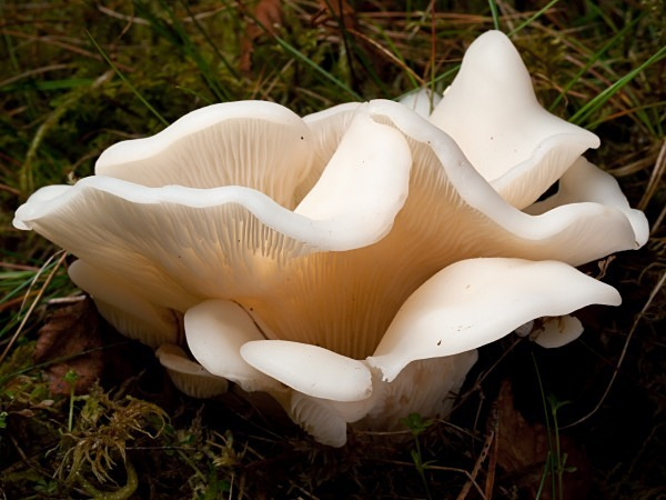'Angel's Wings' fungi, photographed by Roger Butterfield.