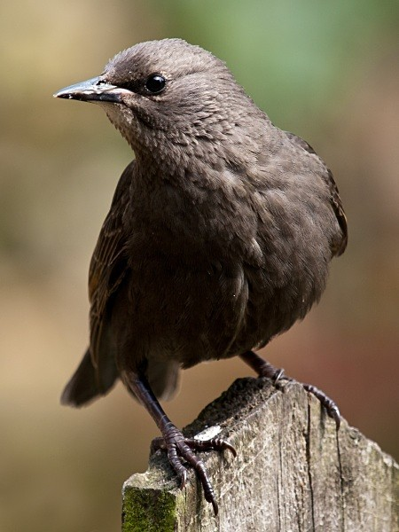 Starling photographed by Roger Butterfield