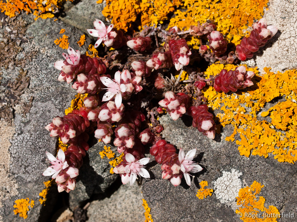 English Stonecrop photographed by Roger Butterfield