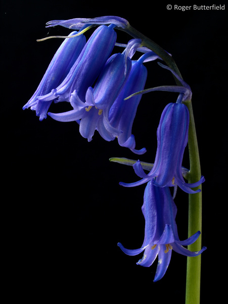 Bluebell photographed by Roger Butterfield