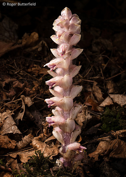 Toothwort photographed by Roger Butterfield