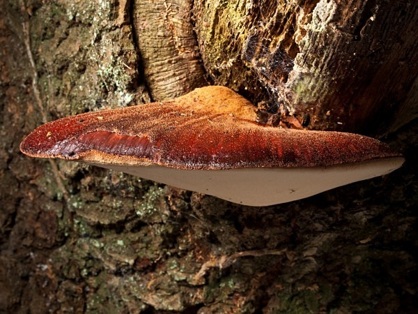 'Beefsteak Fungus', photographed by Roger Butterfield.