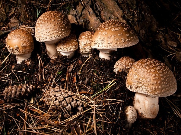 'Blusher' mushrooms, photographed by Roger Butterfield.