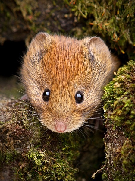 Bank Vole photographed by Roger Butterfield