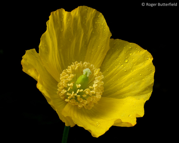 Welsh Poppy photographed by Roger Butterfield