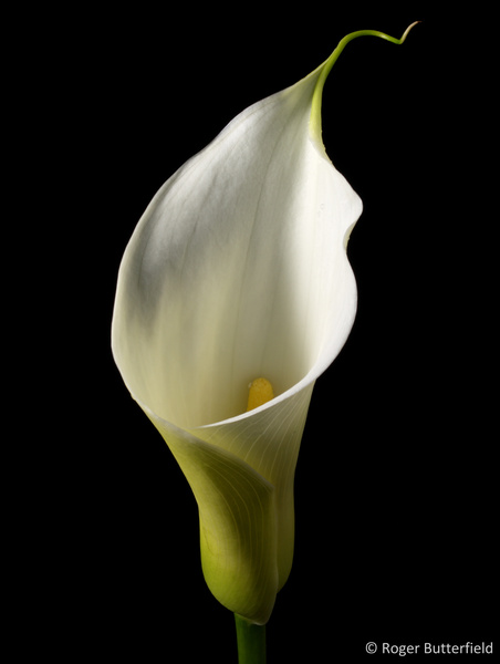 Arum Lily photographed by Roger Butterfield