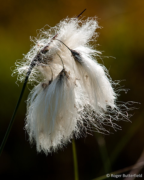 Common Cottongrass photographed by Roger Butterfield
