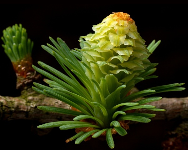 Larch flower (female) photographed by Roger Butterfield