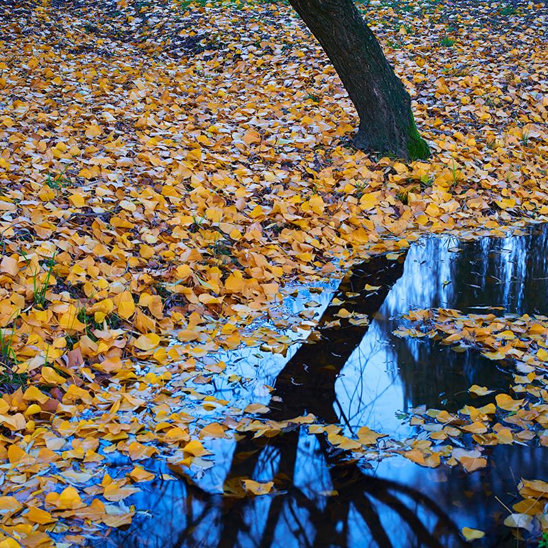 Autumn gold - Snowy Mountains
